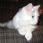 Фото білих кішок
