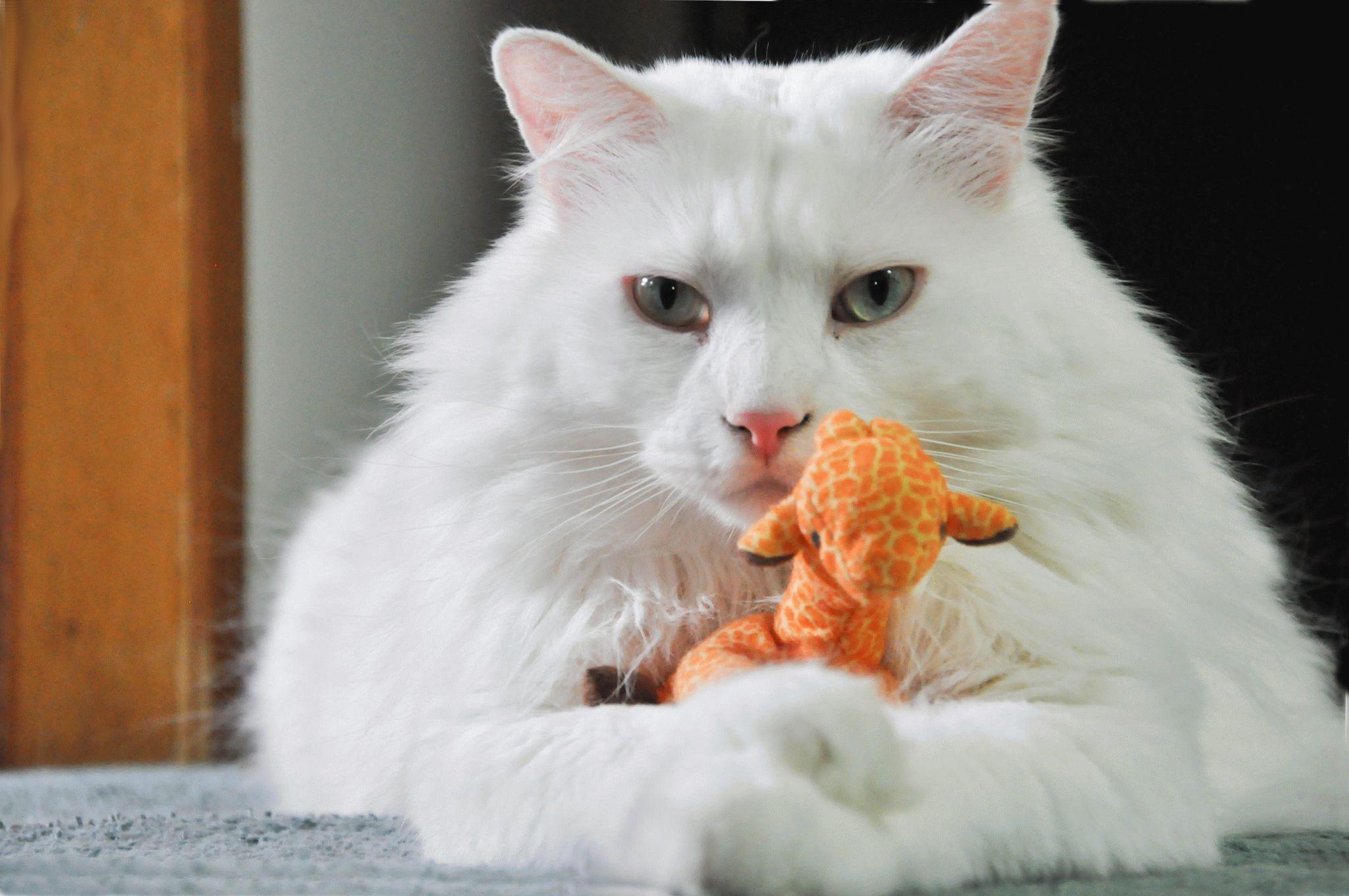 Фото білого кота