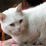Фото білої кішки