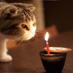 Фото висловухий кіт