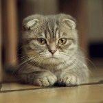 Фото висловухого кота
