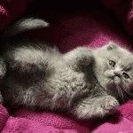 Фото висловухого кошеняті