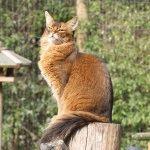 Фото сомалійського кота