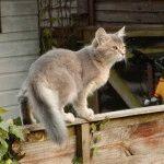 Фото сомалійської кішки срібного кольору