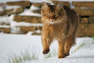 Фото сомалійської кішки