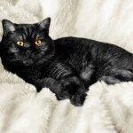 Фото чорної британської кішки
