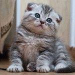 Фото шотландського висловухого кошеняті