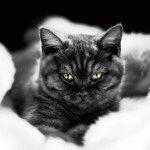Чорна британська кішка
