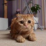 Шотландський висловухий кіт смішне фото