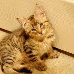 Кошеня з пензликами на вухах
