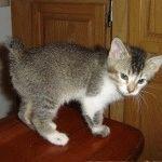 Кошеня породи Менкс фото