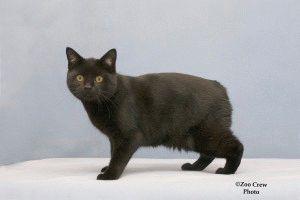 Кіт Менкс фото