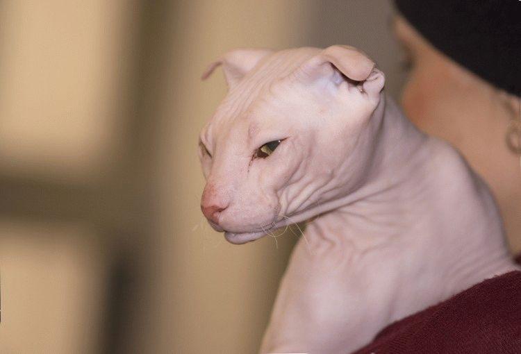 Порода лысых кошек с загнутыми ушами