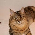 Кіт з кісточками на вухах