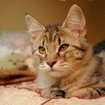 Кіт з пензликами на вухах
