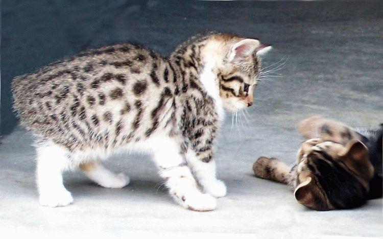 Кіт менкс характер