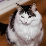 Кіт норвезький лісовий з пензликами на вухах