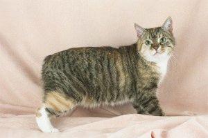 Кіт породи Менкс фото