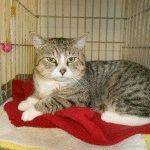 Кішка Менкс фото