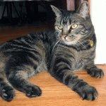 Менкс кіт фото