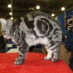 Менкс кішка
