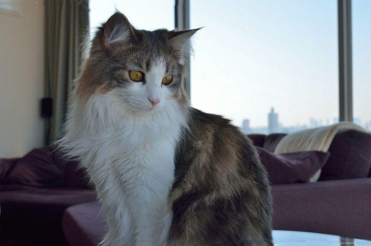 Норвезька кішка з пензликами на вухах