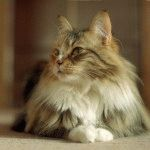 Норвезький лісовий кіт з пензликами на вухах