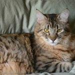 Порода котів з пензликами на вухах - Піксибоб