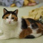 Порода котів менкс