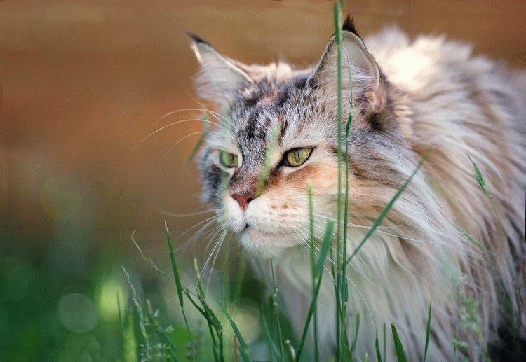 Фото кота породи Мейн-кун