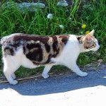 Фото кота породи Менкс