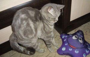 Відгук про британську короткошерсту кішку