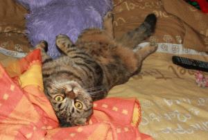 Відгук про шотландського висловухого кота