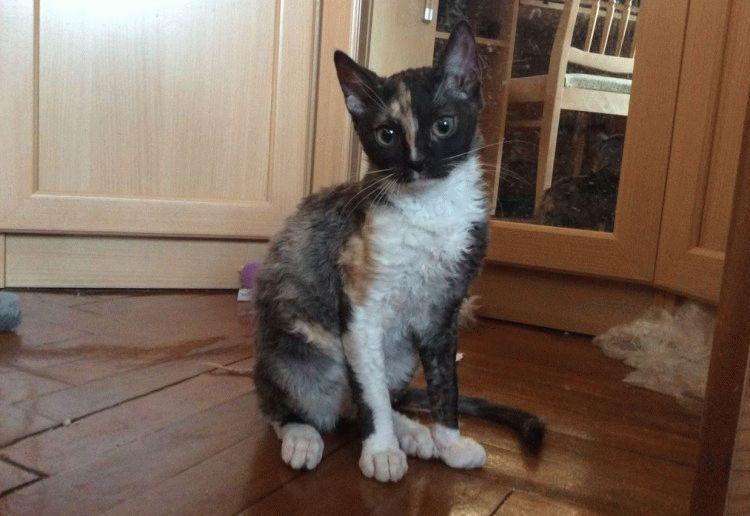 Фото кота уральський рекс