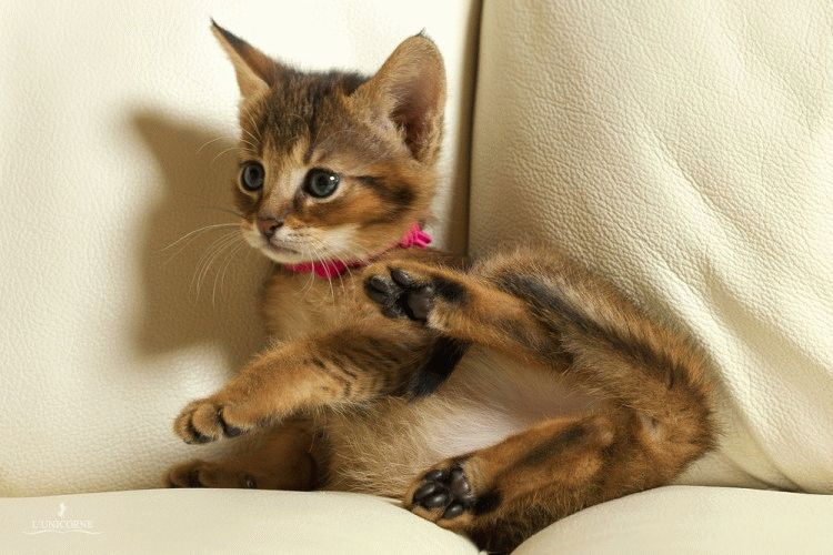 Чаузі - друга серед найдорожчих порід котів