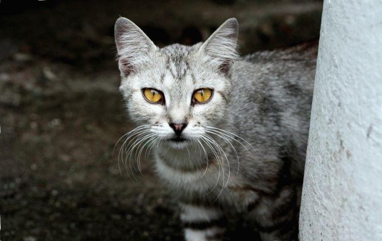 Чому не можна дивитися в очі коту