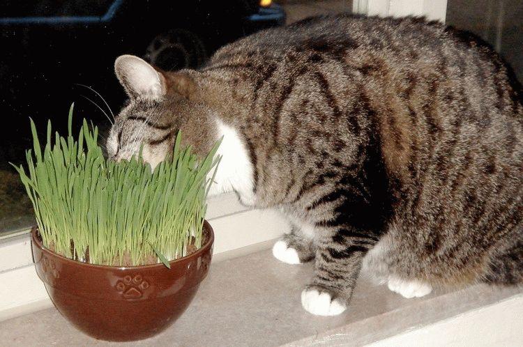 Як посадити та виростити траву для котів