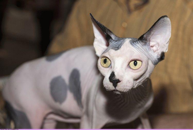 Лисі коти - порода Канадський сфінкс