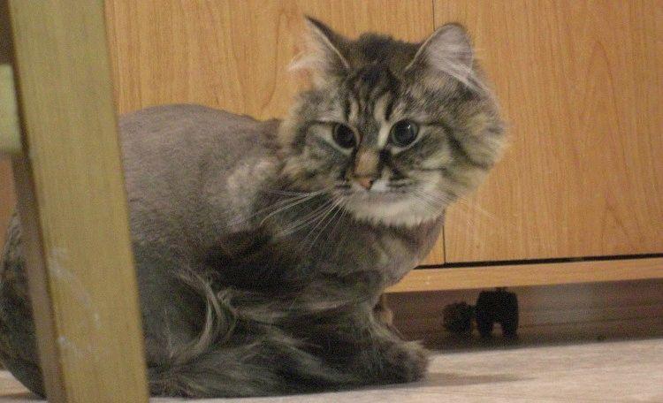 Стрижка кішки в домашніх умовах