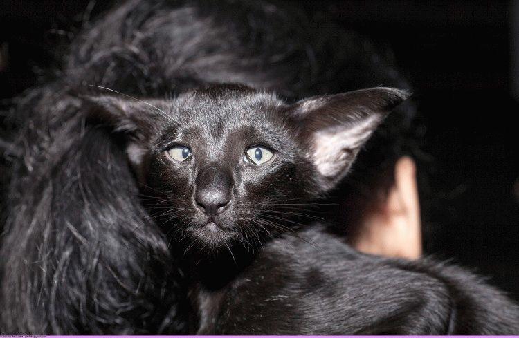 Кішка орієнтальна фото