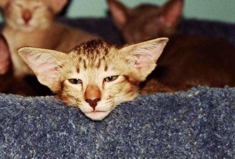 Орієнтальна кішка відео