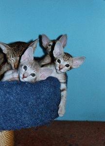 Орієнтальна кішка - фото кошенят