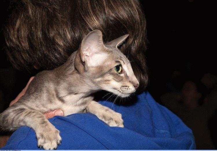 Орієнтальна кішка фото