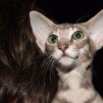 Орієнтальна кішка