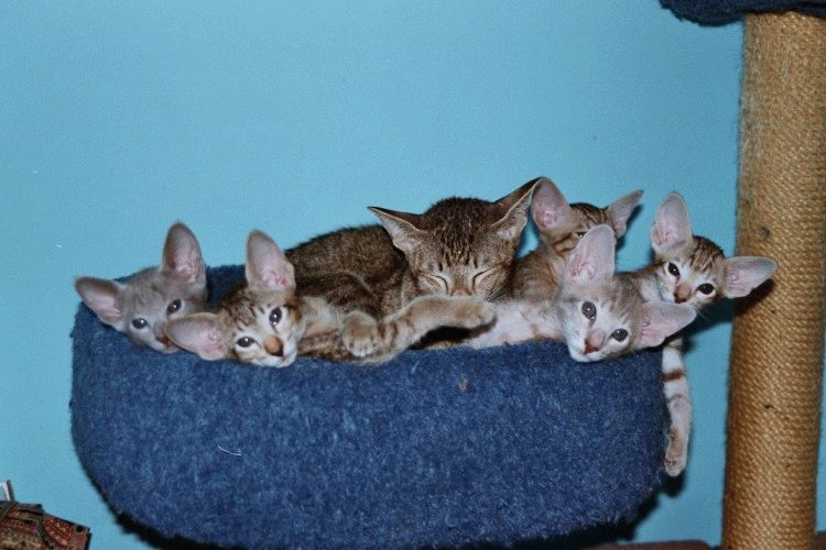 Орієнтальна порода котів
