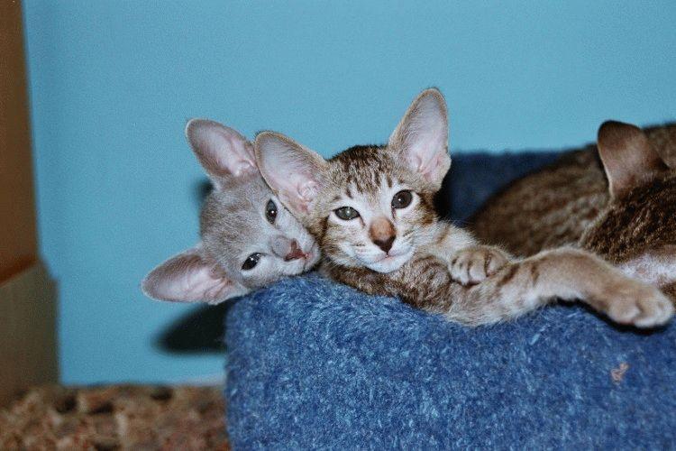 Орієнтальна порода фото кошенят