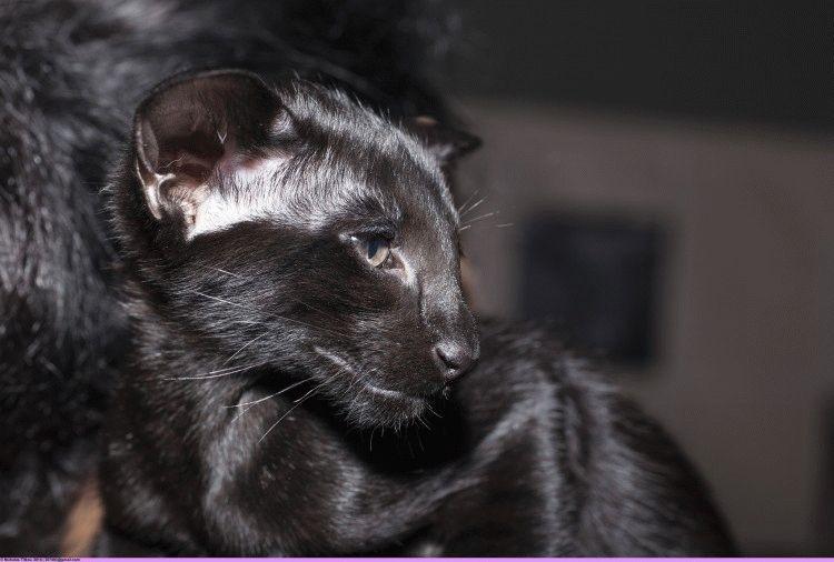 Орієнтальний кіт фото