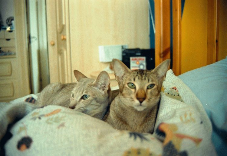 Орієнтальні коти фото