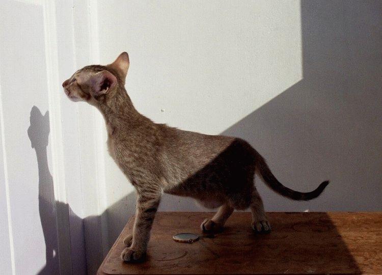 Орієнтальна кішка характрер