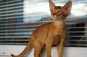 Абіссинська кішка опис породи